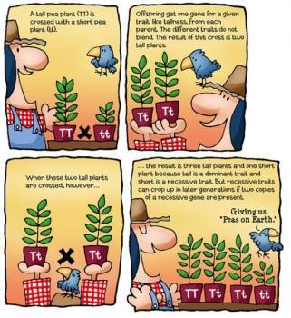 圖片來源:http://www.bestseedbank.com/breeding-cannabis-f1-and-f2-explained/