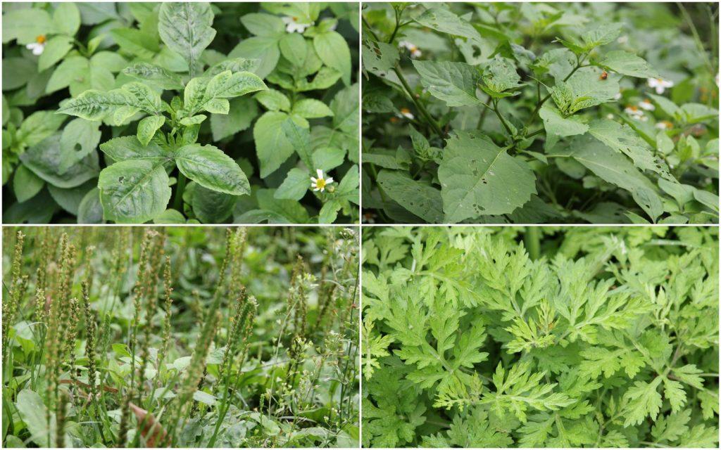 許多雜草具有食用或藥用的價值。花咸豐草與龍葵可作野菜,車錢草、艾草可以藥用。