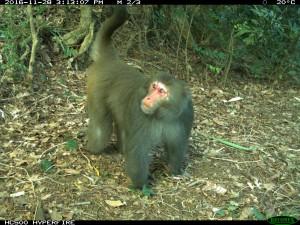 裡山青果社-獼猴