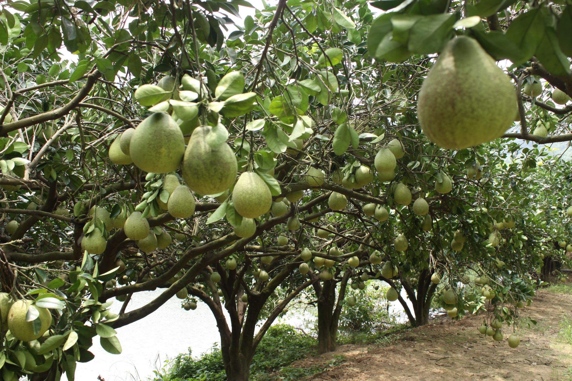 红心柚子树