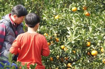 里山柑橘香--帝王柑