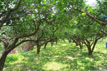 吉平休閒農場-草生栽培