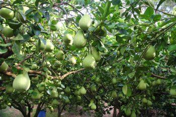 吉平休閒農場文旦柚