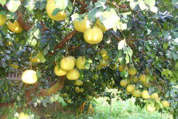賴意晴-大白柚