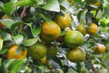 佳樂觀光果園-砂糖橘