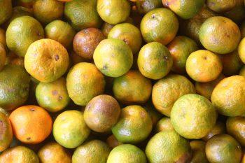 火炎山果園的砂糖橘