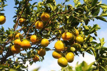 佳樂觀光果園的茂谷柑