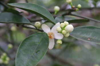 綠皮葡萄柚花