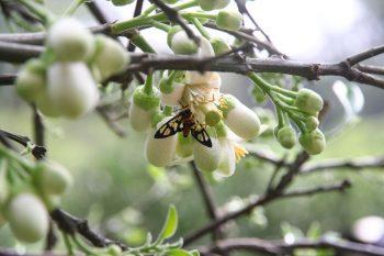 佳樂觀光果園-鹿子蛾