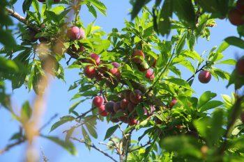 佳樂觀光果園的桃接李