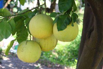吉利觀光果園大白柚