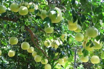 吉利觀光果園的大白柚
