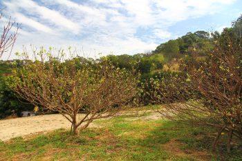 佳樂觀光果園-李子樹