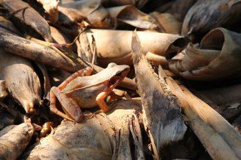 吉利觀光果園-長腳赤蛙