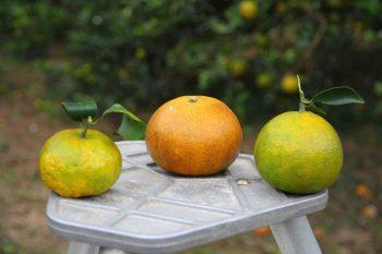 砂糖橘、茂谷柑與帝王柑